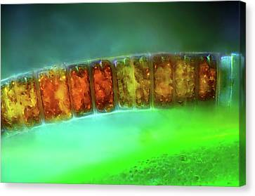 Diatoms Canvas Print by Marek Mis