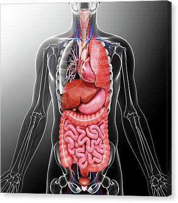 Human Internal Organs Canvas Print by Pixologicstudio