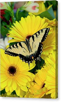 Eastern Tiger Swallowtail Papilio Canvas Print by Darrell Gulin