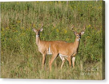 White-tailed Bucks Canvas Print by Linda Freshwaters Arndt
