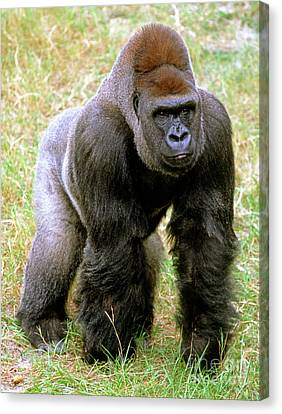Western Lowland Gorilla Canvas Print by Millard H. Sharp