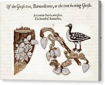 1597 Goose Barnacle Tree Of Gerard Herbal Canvas Print by Paul D Stewart