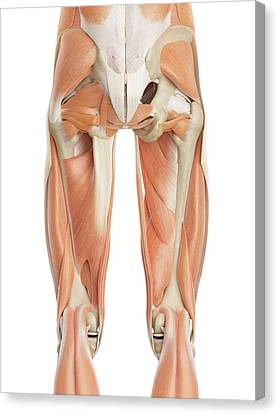 Human Leg Muscles Canvas Print by Sciepro
