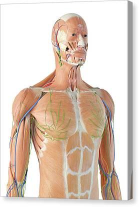 Human Anatomy Canvas Print by Sciepro