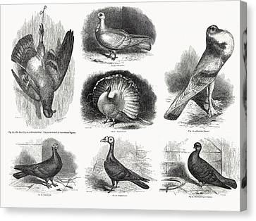 1868 Darwin Pigeon Breeds Illustration Canvas Print by Paul D Stewart