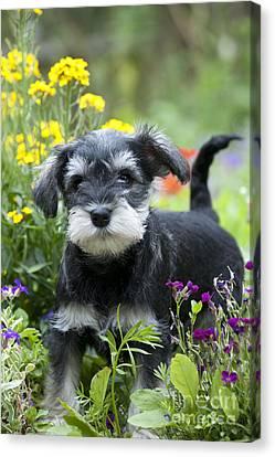 Schnauzer Puppy Dog Canvas Print by John Daniels