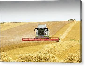 A Farmer Harvesting Wheat Canvas Print by Ashley Cooper