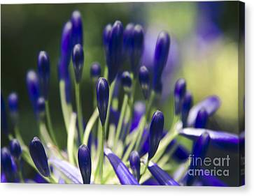 Agapanthus Orientalis - Lily Of The Nile Canvas Print by Sharon Mau