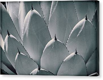 Agave Leaves Canvas Print by Kelley King