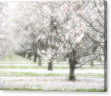 Almond Orchard Canvas Print by Carol Leigh