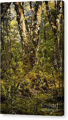 Ancient Woods Canvas Print by Tim Hester