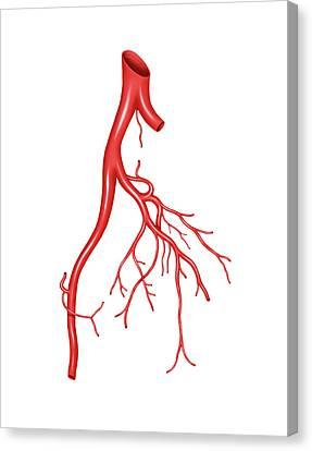 Arterial System Of The Abdomen Canvas Print by Asklepios Medical Atlas