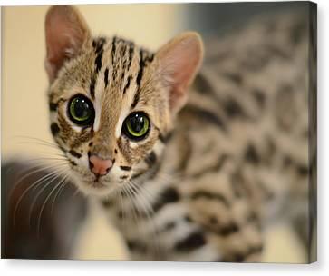 Asian Leopard Cub Canvas Print by Laura Fasulo
