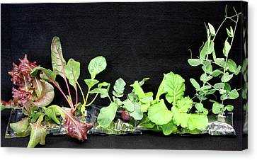 Astronaut Vegetable Production System Canvas Print by Nasa