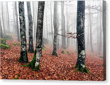 Beech Forest With Fog In Autumn Canvas Print by Mikel Martinez de Osaba