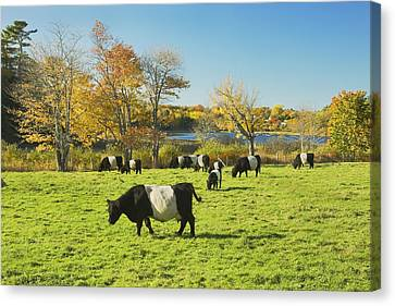 Belted Galloway Cows Grazing On Grass In Rockport Farm Fall Main Canvas Print by Keith Webber Jr