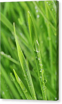 Blades Of Wheatgrass With Water Droplets Canvas Print by Cordelia Molloy