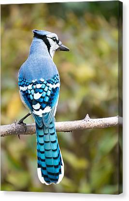 Blue Jay Canvas Print by Jim Hughes