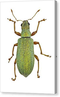 Broad-nosed Weevil Canvas Print by F. Martinez Clavel