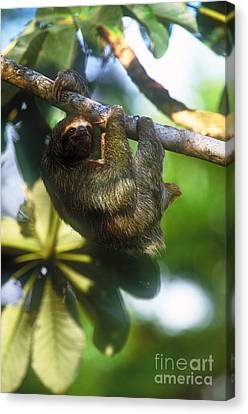 Brown-throated Three-toed Sloth Canvas Print by Art Wolfe