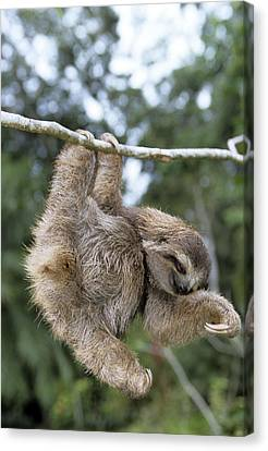 Brown-throated Three-toed Sloth Canvas Print by M. Watson