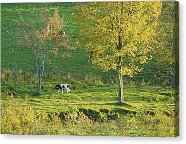 Calf On A Farm Fall Maine Canvas Print by Keith Webber Jr