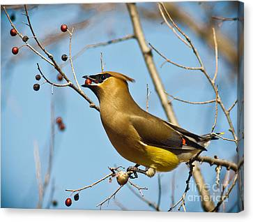 Cedar Waxwing With Berry Canvas Print by Robert Frederick
