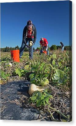 Charitable Use Of Leftover Crops Canvas Print by Jim West