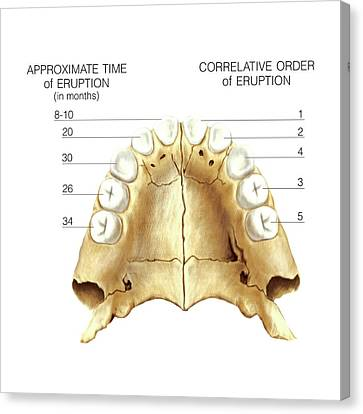 Child's Teeth Canvas Print by Asklepios Medical Atlas