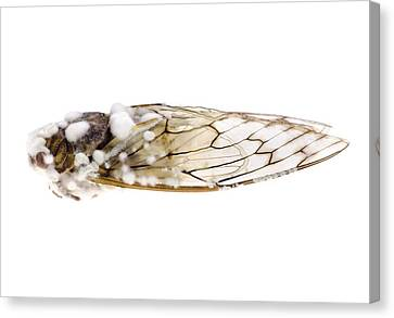 Cicada Infected With Fungus Canvas Print by Science Photo Library