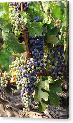 Colorful Grapes Canvas Print by Carol Groenen