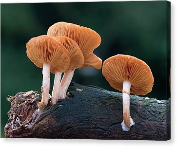 Common Rustgill Fungus Canvas Print by Nigel Downer