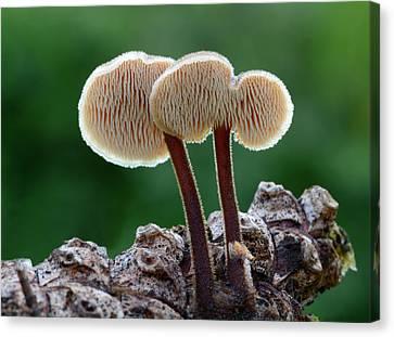 Ear Pick Fungus Canvas Print by Nigel Downer
