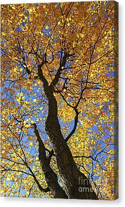 Fall Maple Trees Canvas Print by Elena Elisseeva
