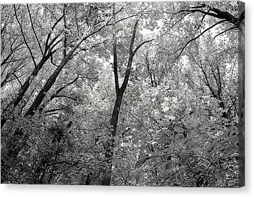 Fall Trees Canvas Print by Judy Gallagher