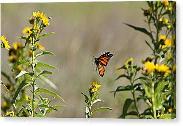 Flight Of The Monarch Canvas Print by Thomas Bomstad