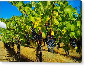Grapes On The Vine Canvas Print by Jeff Swan