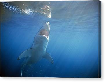 Great White Shark Canvas Print by Jeff Rotman