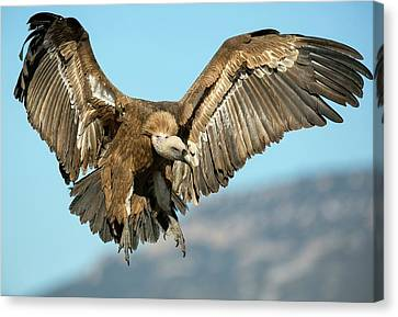 Griffon Vulture Flying Canvas Print by Nicolas Reusens