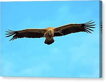 Griffon Vulture In Flight Canvas Print by Bildagentur-online/mcphoto-schaef