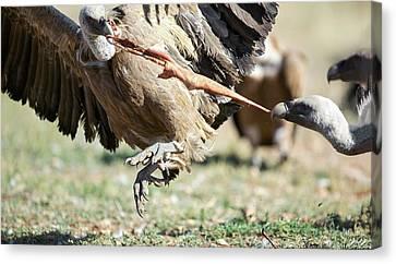 Griffon Vultures Feeding Canvas Print by Nicolas Reusens