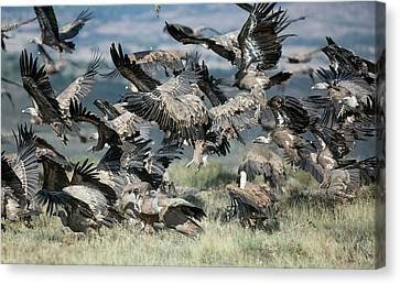 Griffon Vultures Canvas Print by Nicolas Reusens
