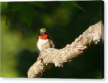 Guardian Hummingbird Canvas Print by Christina Rollo