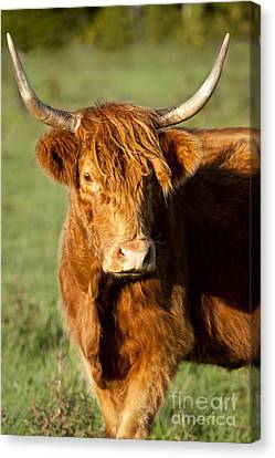 Highland Cow Canvas Print by Brian Jannsen