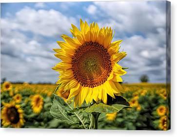 Kansas Sunflower Canvas Print by Alan Hutchins