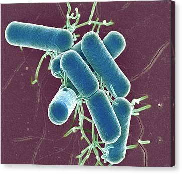 Lactobacillus Bacteria Canvas Print by Science Photo Library