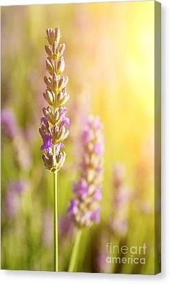 Lavender Flowers Canvas Print by Carlos Caetano