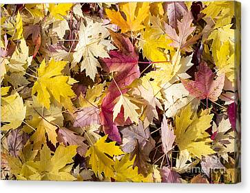 Maple Leaves Canvas Print by Steven Ralser