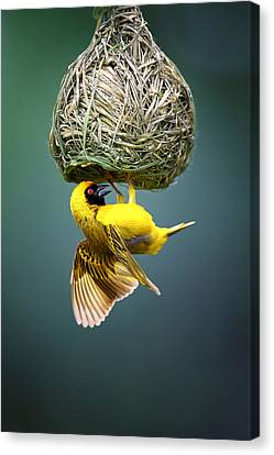 Masked Weaver At Nest Canvas Print by Johan Swanepoel