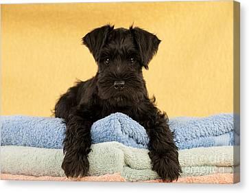 Miniature Schnauzer Puppy Canvas Print by John Daniels